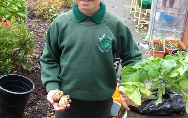 Potato growing in Year 2