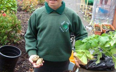 Potato growing in Year 2